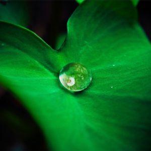 Natūralūs kvapai namams - beržų hidrolatas