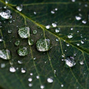 Natūralūs kvapai namams - tuopų topolių hidrolatas